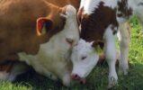 ЗИГБИР восстанавливает печень коров после отела