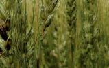 Биджин 40 СФА Концентрат – универсальная кормовая добавка для борьбы с микотоксинами