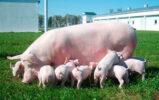 Зигбир как фактор снижения конверсии корма в свиноводстве